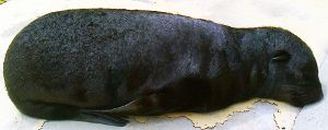 Dry Natal Cape Fur Seal