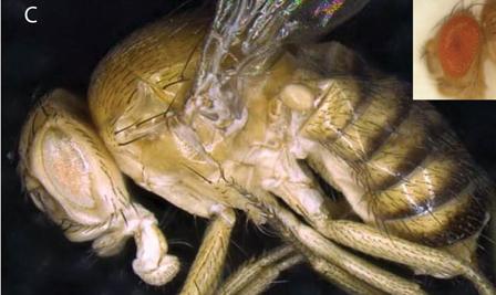 Drosophila synthetica