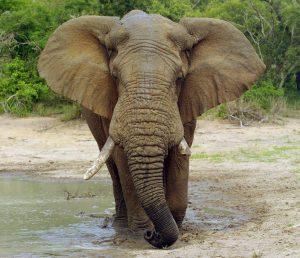 PLOS ONE: Elephant