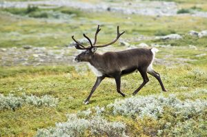 Eurasian Reindeer