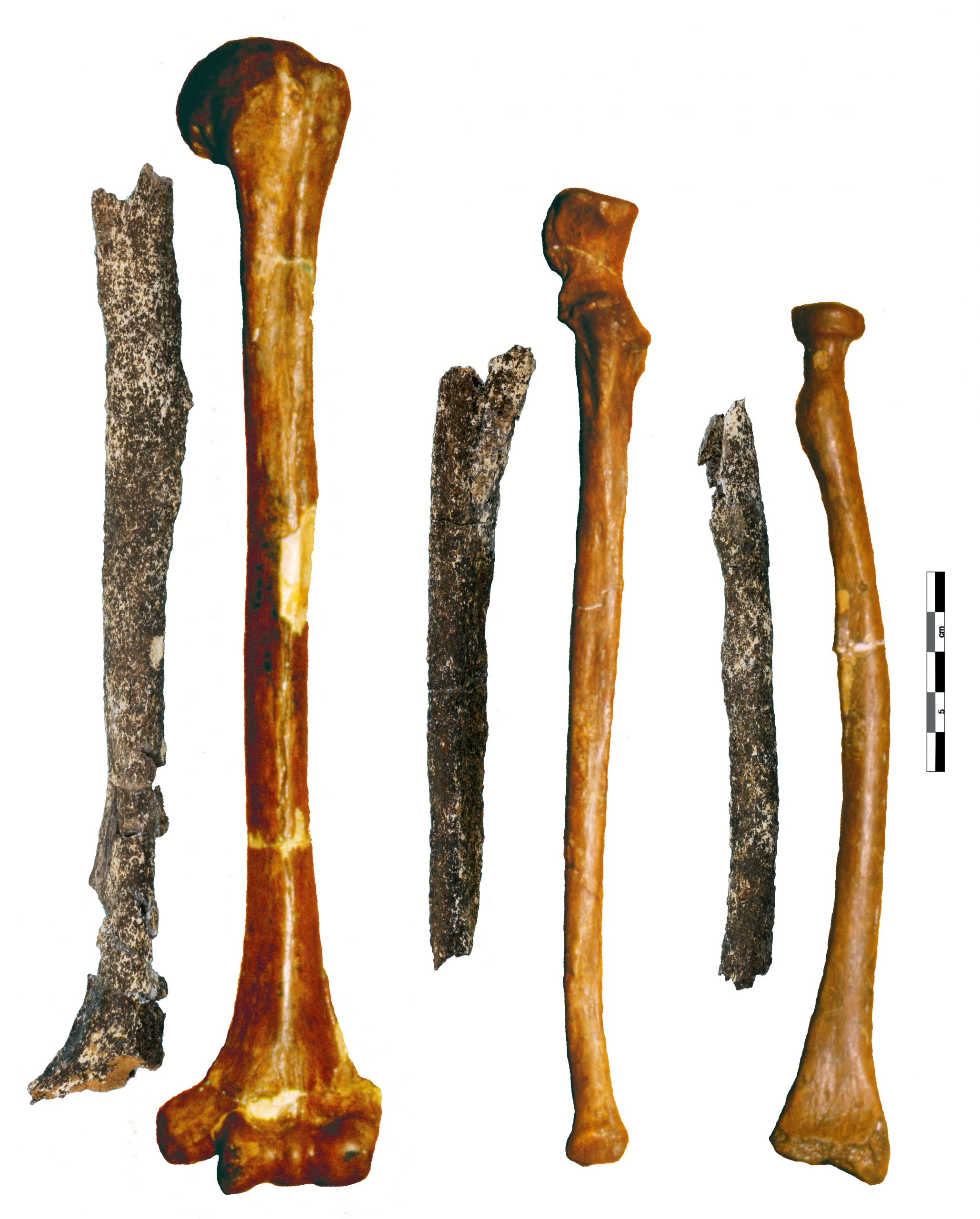 Tourville and Neanderthal arm bones