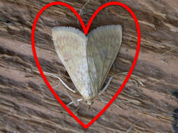 We heart the Ostrinia nubilalis