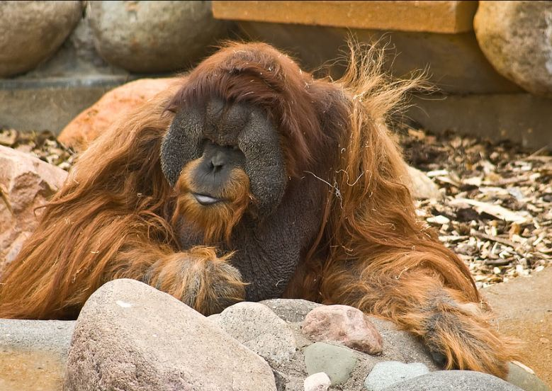 Flanged_Male_Orangutan