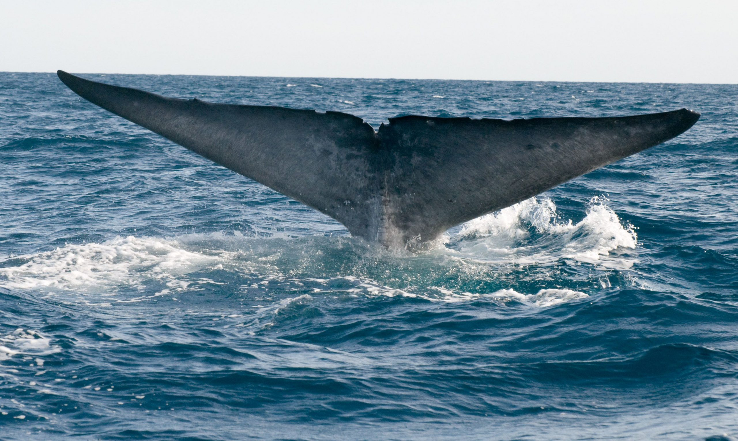 Pygmy Blue Whale 3