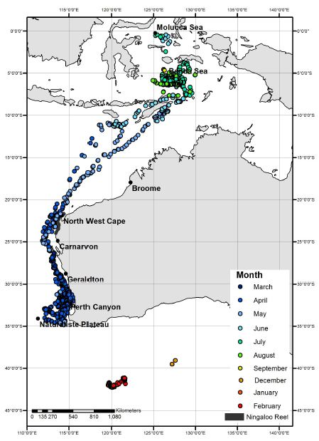 Filtered satellite tag derived locations of pygmy blue whales (n = 11) by month.