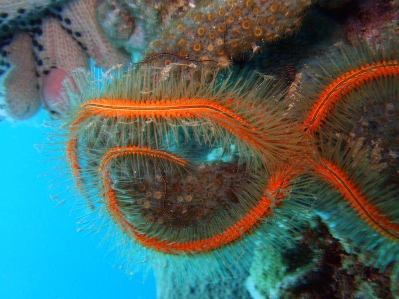 Sponge Brittle Star