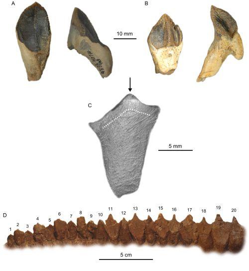 ceratopsidae_teeth