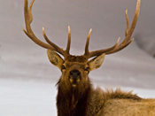Alert Elk by SigmaEye http://www.flickr.com/photos/sigmaeye/2417706828/
