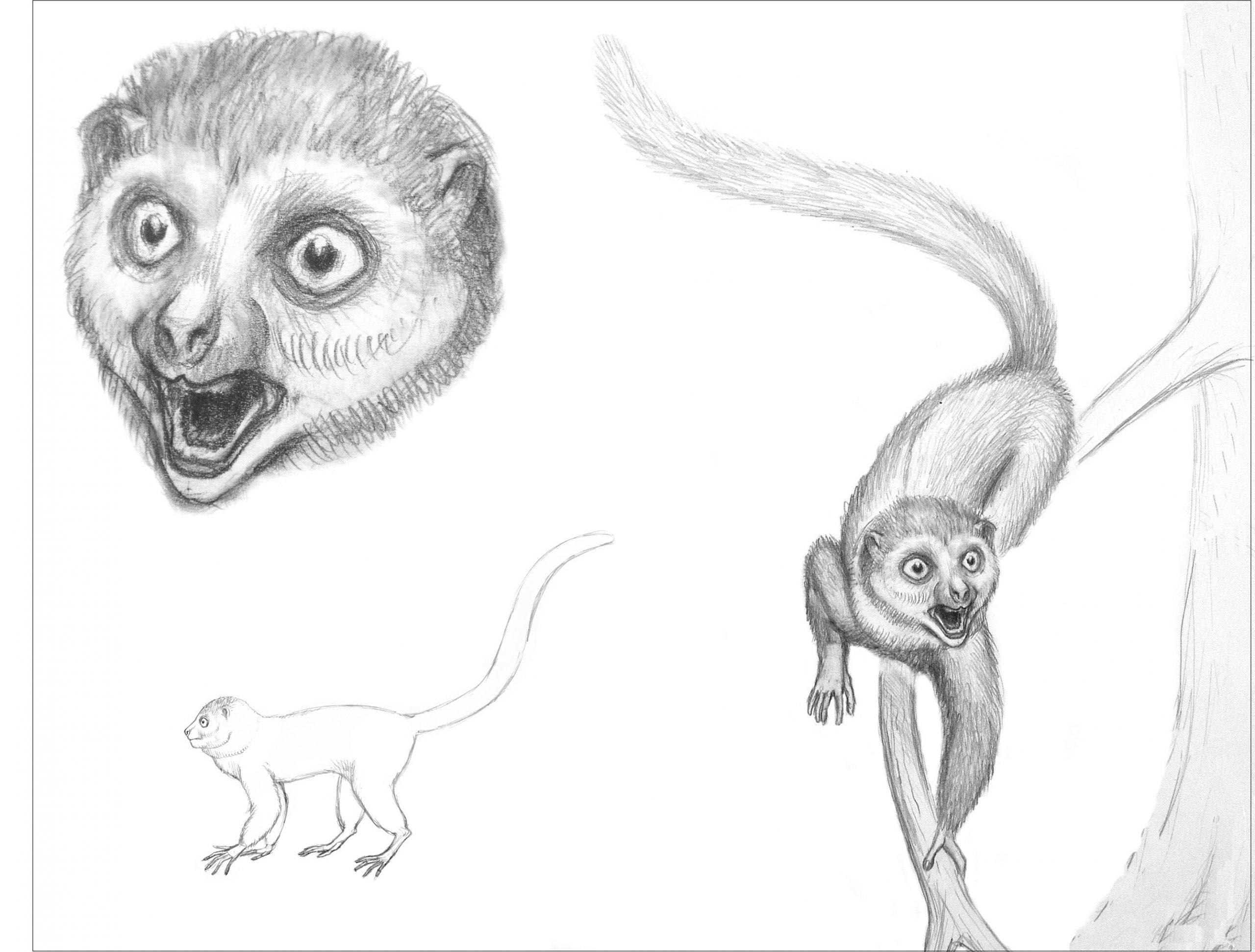 Life restorations of Darwinius masillae (sketches by Bogdan Bocianowski)