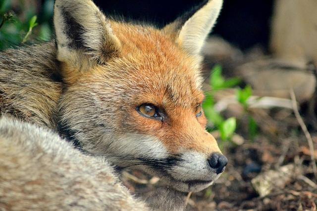 flickr fox Steve K CCBY