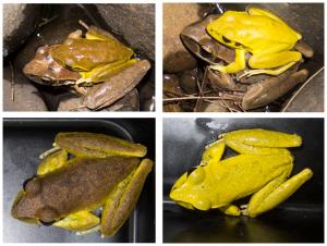 frog amplexus