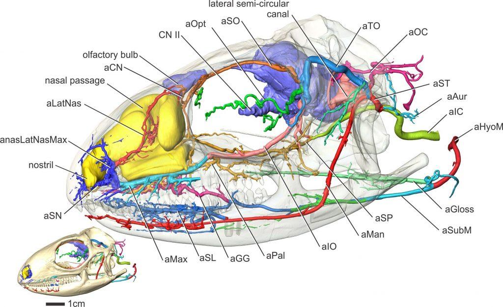 iguana head arteries