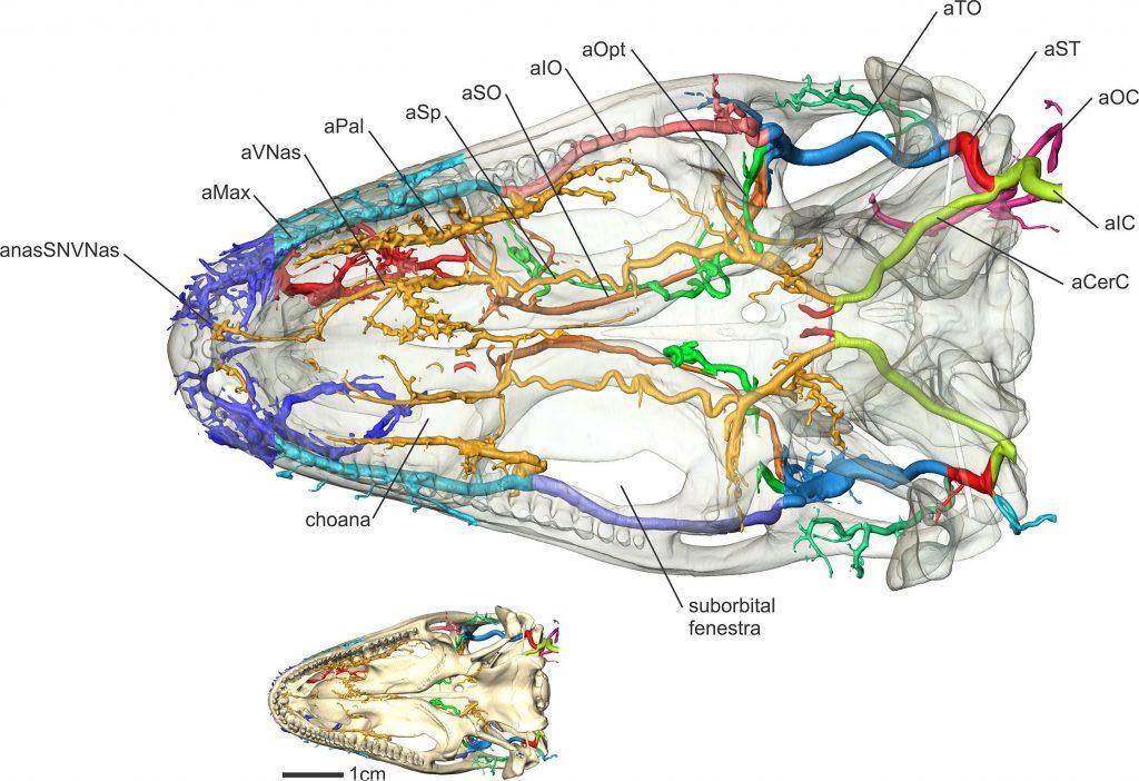 iguana palate arteries