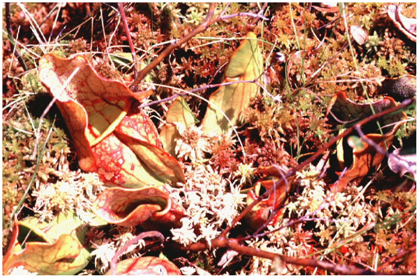 The pitcher plant Sarracenia purpurea