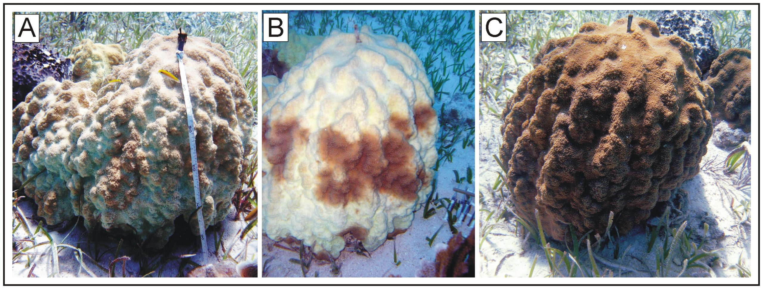 Photographs of a bleached Montastraea faveolata colony
