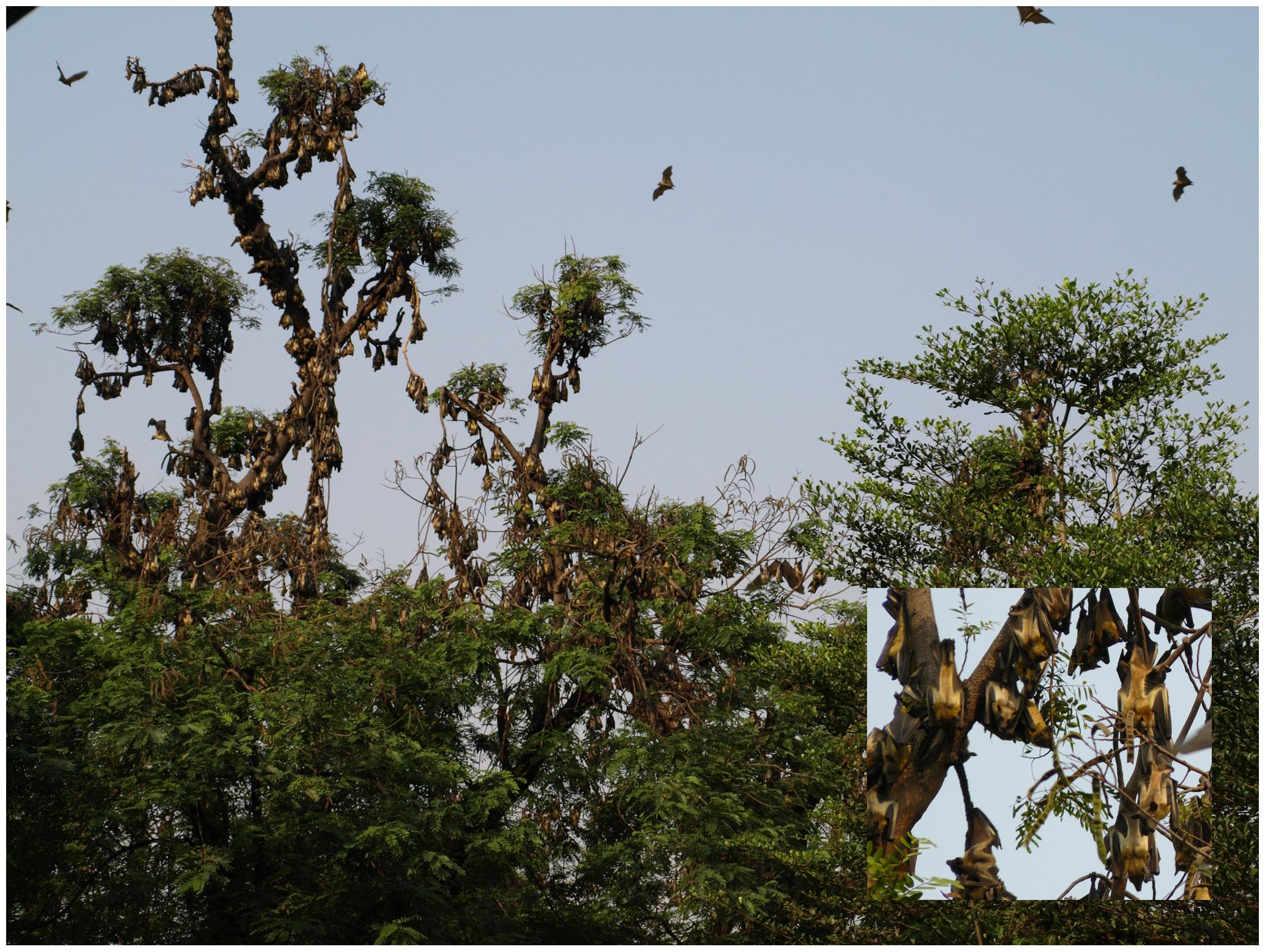 The Eidolon helvum colony at Kumasi zoological gardens, Ghana
