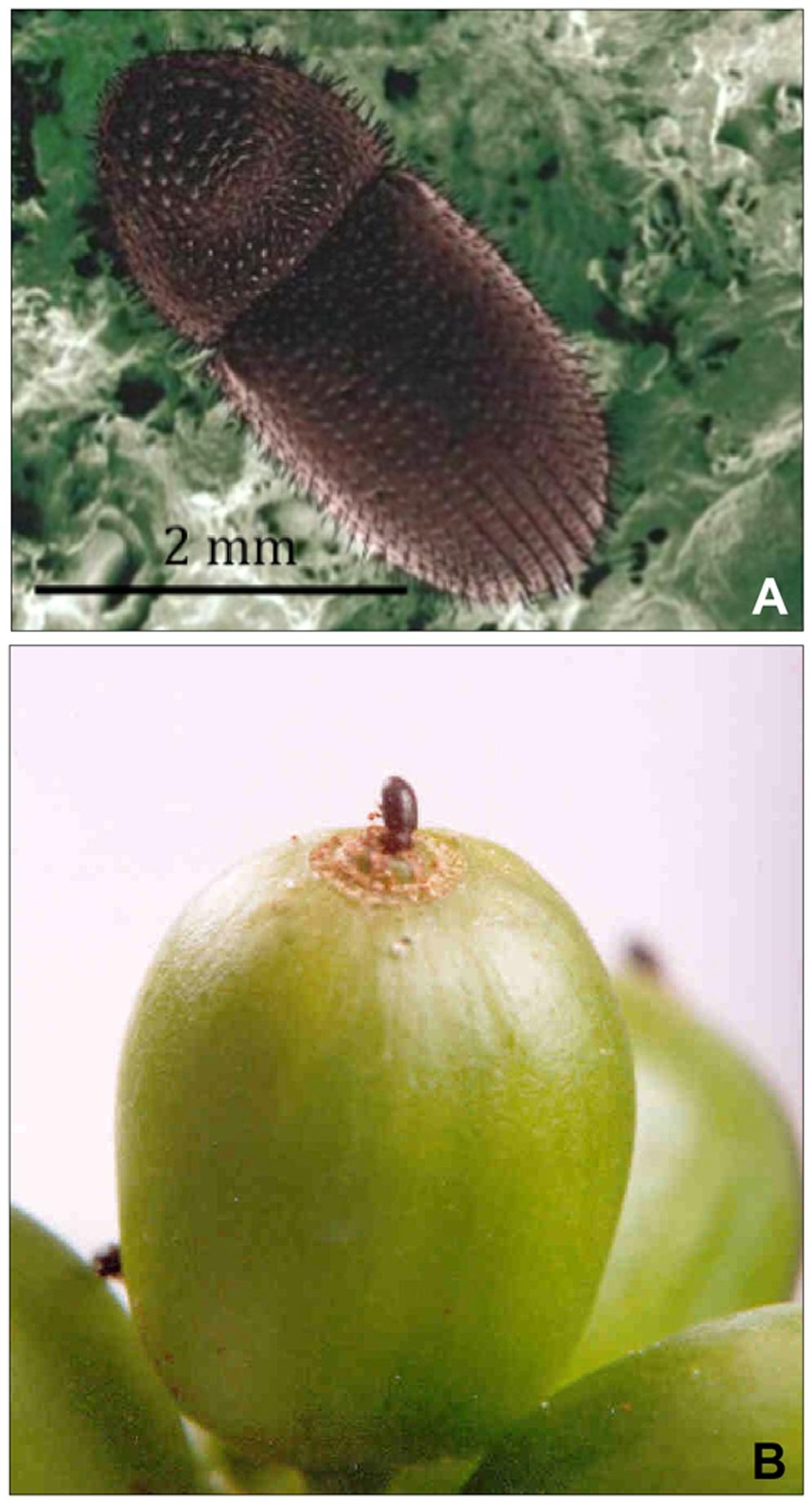 Female coffee berry borer (Hypothenemus hampei)