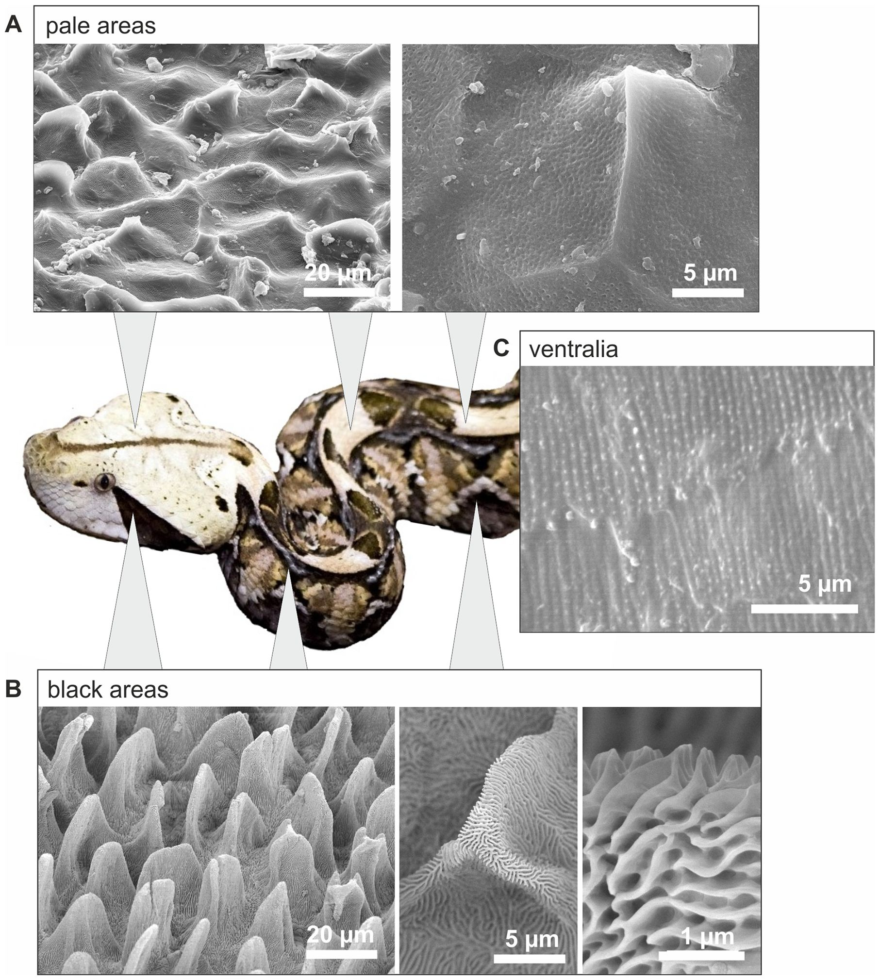 Scanning electron microscopy (SEM) of viper scales