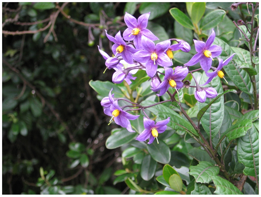 Solanum sanchez-vegae