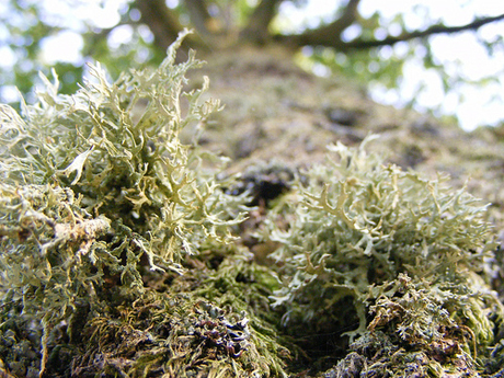 Lichen sur tronc 1 By Humpapa, http://www.flickr.com/photos/humpapa/4963764274/