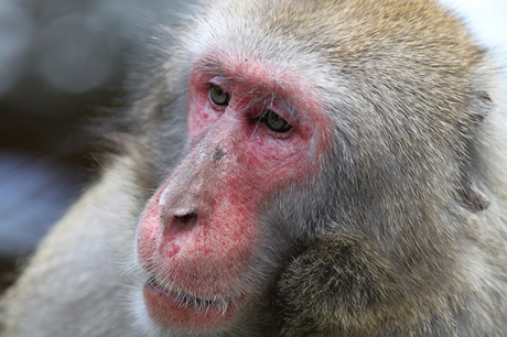 Macaque Portrait By Michael Ransburg, http://www.flickr.com/photos/michaelransburg/4592983842/