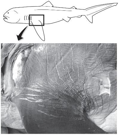 megamouth fin